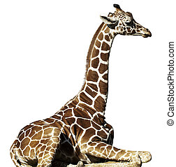 Giraffe - A young giraffe sitting down, isolated on a white...