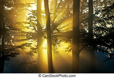 sunbeam in the forest