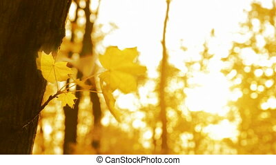 yellow leaf on autumn trees in wind