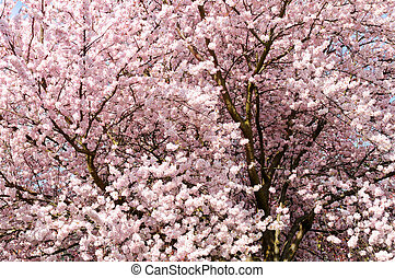 Cherry Blossom Tree. - Cherry Blossom tree spring with pink...
