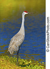 florida birds - Sandhill crane with beak in sand, full...