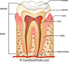 Teeth Anatomy - illustration of anatomy of teeth with...