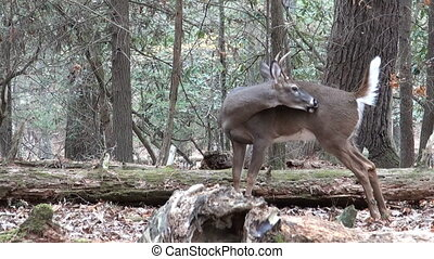 Whitetail deer buck bedded - White-tailed deer buck bedded...