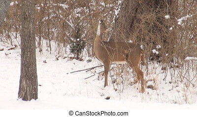 Whitetail deer doe in the snow