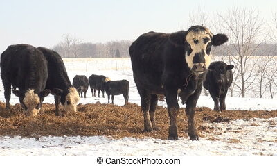 Cattle grazing in pasture - Cattle feeding in an open...
