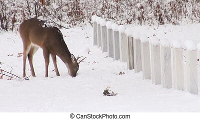 White-tailed deer grazing near grav - Whitetail deer grazes...