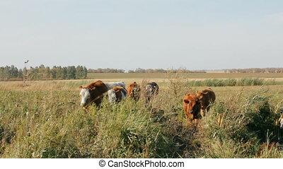 calves going