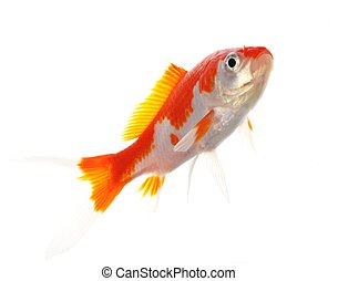 goldfish - single goldfish animal isolated on white...