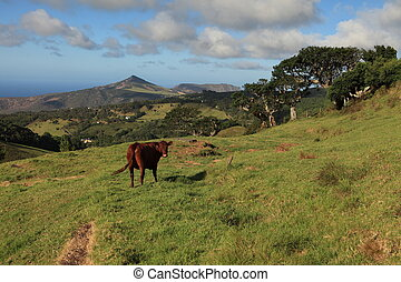 Cow grazing in a pasture - Cow grazing in the lush tropical...