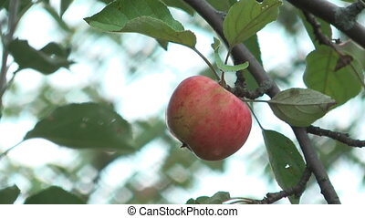 Apple-tree. - HD 1920x1080 close up shot of red apple on...