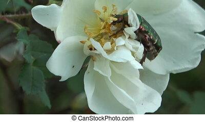 Cetonia aurata. - Beetle Cetonia aurata on a flower of white...