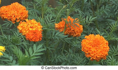 Orange marigold - HD 1080 close up clip of beauty marigold...