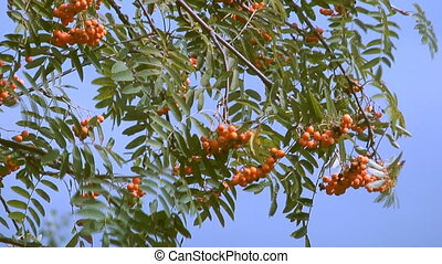 Red ashberry - close up clip of autumn red mountain ash...
