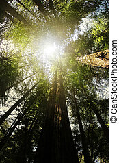 Redwood forest - Perspective from below looking up into...