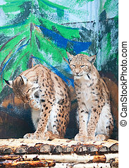 Two lynxes groom themselves - A pair of eurasian lynxes (L....