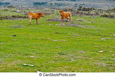 Cow and Bull