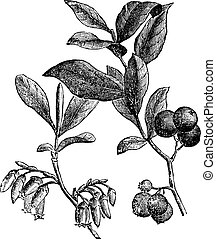 Huckleberry or Gaylussacia resinosa engraving - Huckleberry...