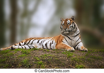 Beautiful tiger laying down on grassy bank - Beautiful image...
