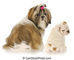two puppies - shih tzu and english bulldog puppies looking...