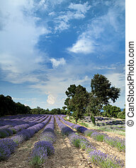 Lavender at Salagon - Lavender fiels of the Salagon priory...