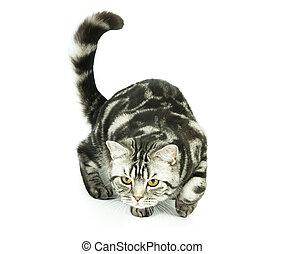 British cat hunting - Silver tabby british cat hunting...