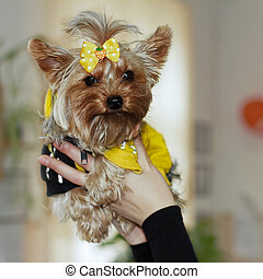 Yorkshire terrier red color with a yellow bow in a yellow...