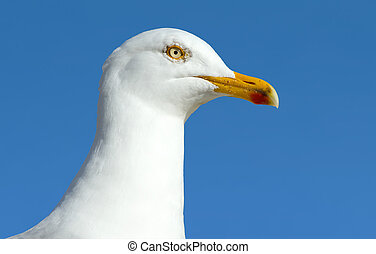 A seagull sea bird close up