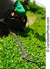 Hedge Trimmer. - Hedge trimmer cutting privet evergreen.