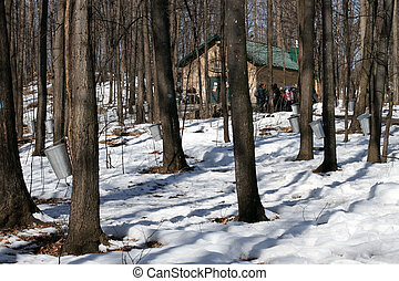 Canadian Maple Sugar Bush - Maple Sugar Fest An Annual Event...