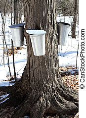 Maple Sap Buckets - Metal Maple Sap Buckets Attached To A...