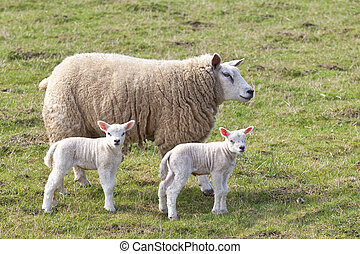 ewe and twin lambs - a ewe and twin lambs in a green pasture...