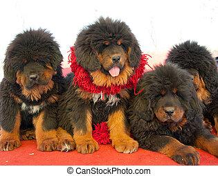 tibetan mastiff nice - close-up of a tibetan mastiff puppies