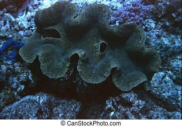 Giant Clam - A Giant Clam taken off the coast of an island...