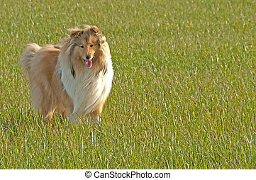 collie  - british collie