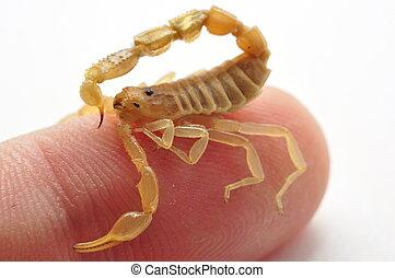 escorpião, dedo, 2