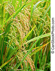 Rice paddy - Ripening rice in a paddy field close up