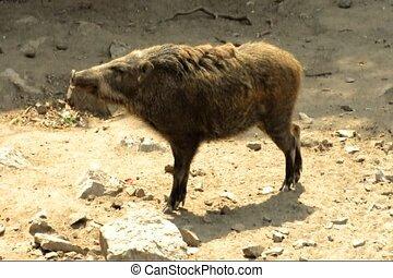 wild boar