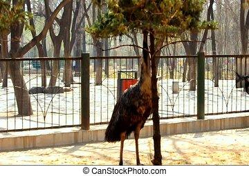 ostrich move