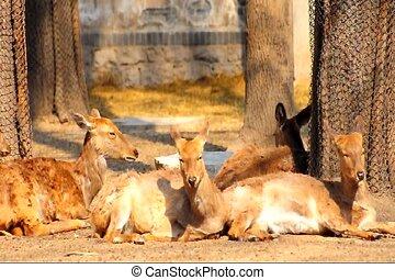 deer - some deer relaxing