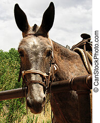 pack mule head - head of brown mule hitched up waiting for a...