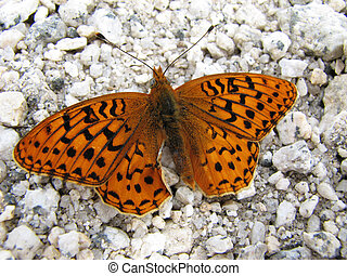 spangled fritillary butterfly - Great spangled fritillary...