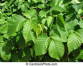 poison ivy patch - a patch of poison ivy (Toxicodendron...