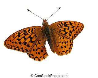 isolated butterfly - Great spangled fritillary butterfly...