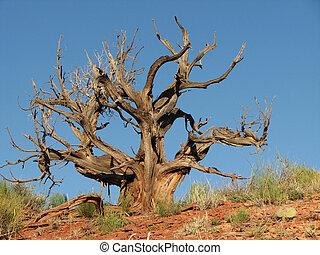 dead desert tree - dead gnarled desert juniper tree against...