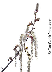 aspen - branch aspen with catkin on white background
