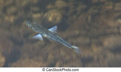 Little Blue fish in Lake - Tiny blue baby fish, a minnow of...