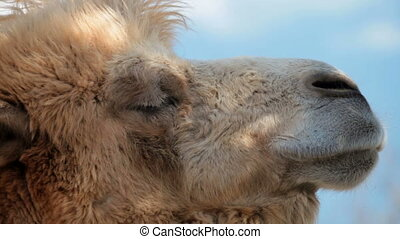 Camel - Close-up of a camel head