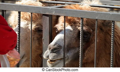 two camels eating