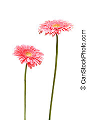 two daisy - two gebera african daisy isolated on white