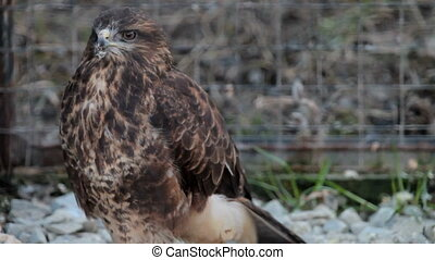 buzzard hawk
